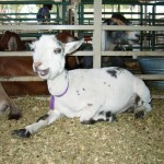 The Elbert County Fair was so fun... even the goats were laughing and smiling.
