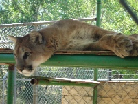 North American Cougar from the Big Cats of Serentiry Springs near Colorado Springs.