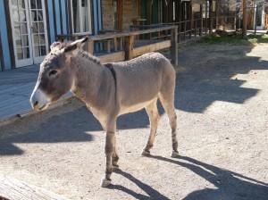 Wild Jackass (donkey) in the streets of Oatman AZ
